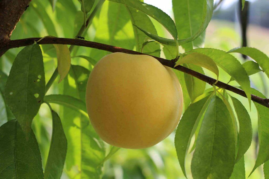 桃の美容効果まとめ
