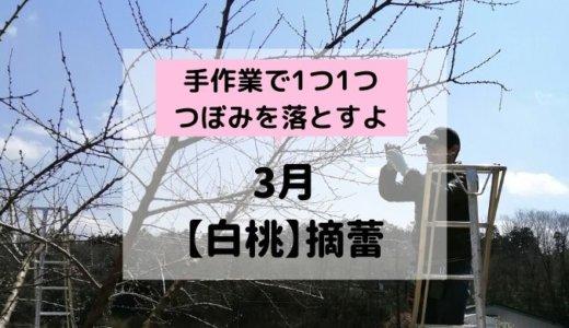 【白桃】3月摘蕾(てきらい)~1つ1つ手でつぼみを落とすって知ってた?~