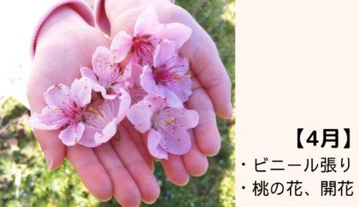 ビニール張りと桃の花の開花