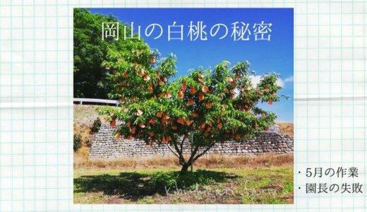 岡山の桃はなぜ白い?桃の摘果と袋掛けのお話&園長の失敗談