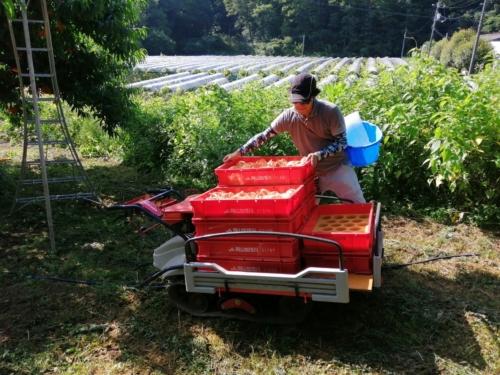 清水白桃 つきあかり 収穫 吉備ひかり農園